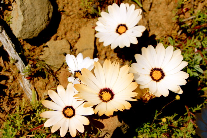 Daisies in bloom in Winter